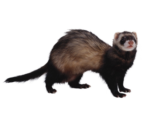 Ferrets – Breadner Veterinary Services